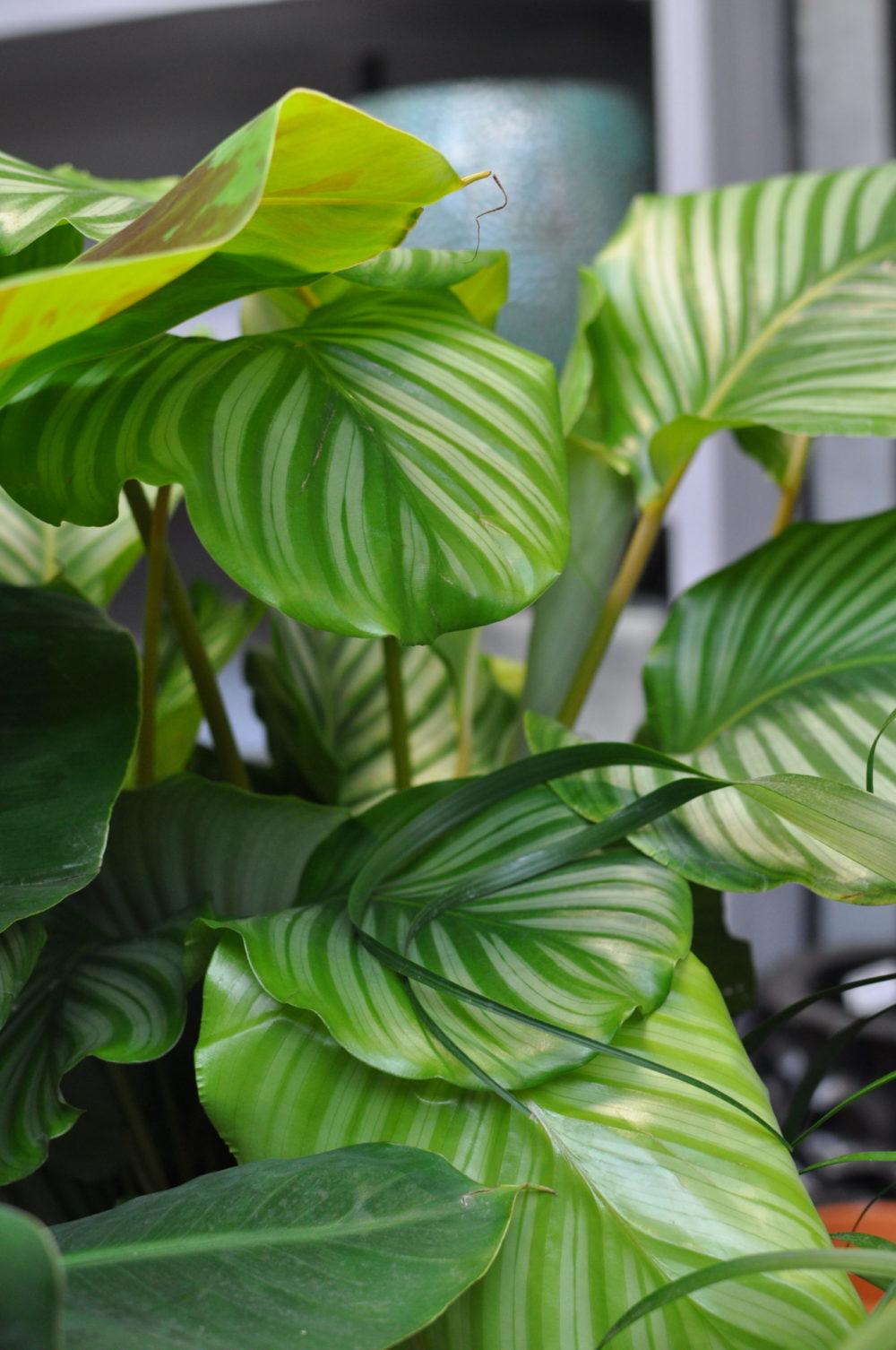calatea piante da appartamento