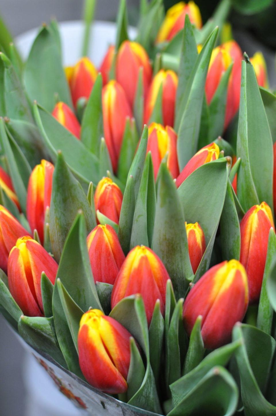 tulipani teoria colori piante e fiori