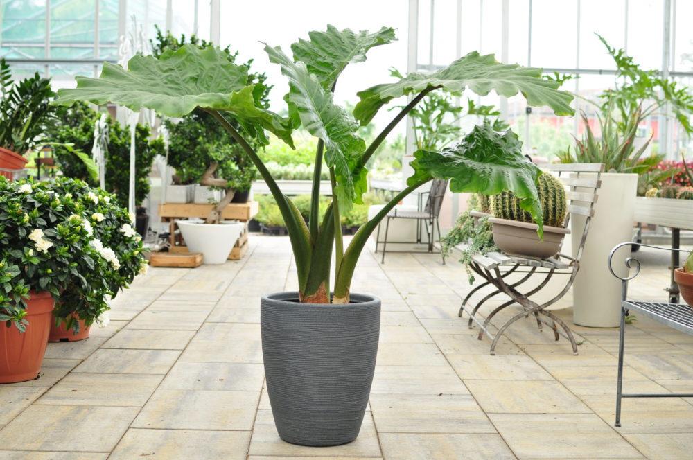 filodendro piante da appartamento