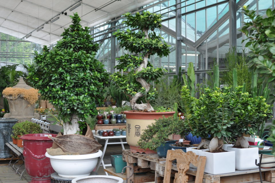 bonsai piante appartamento