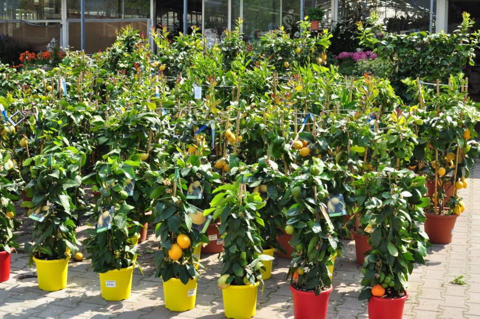 agrumi e piante da frutto