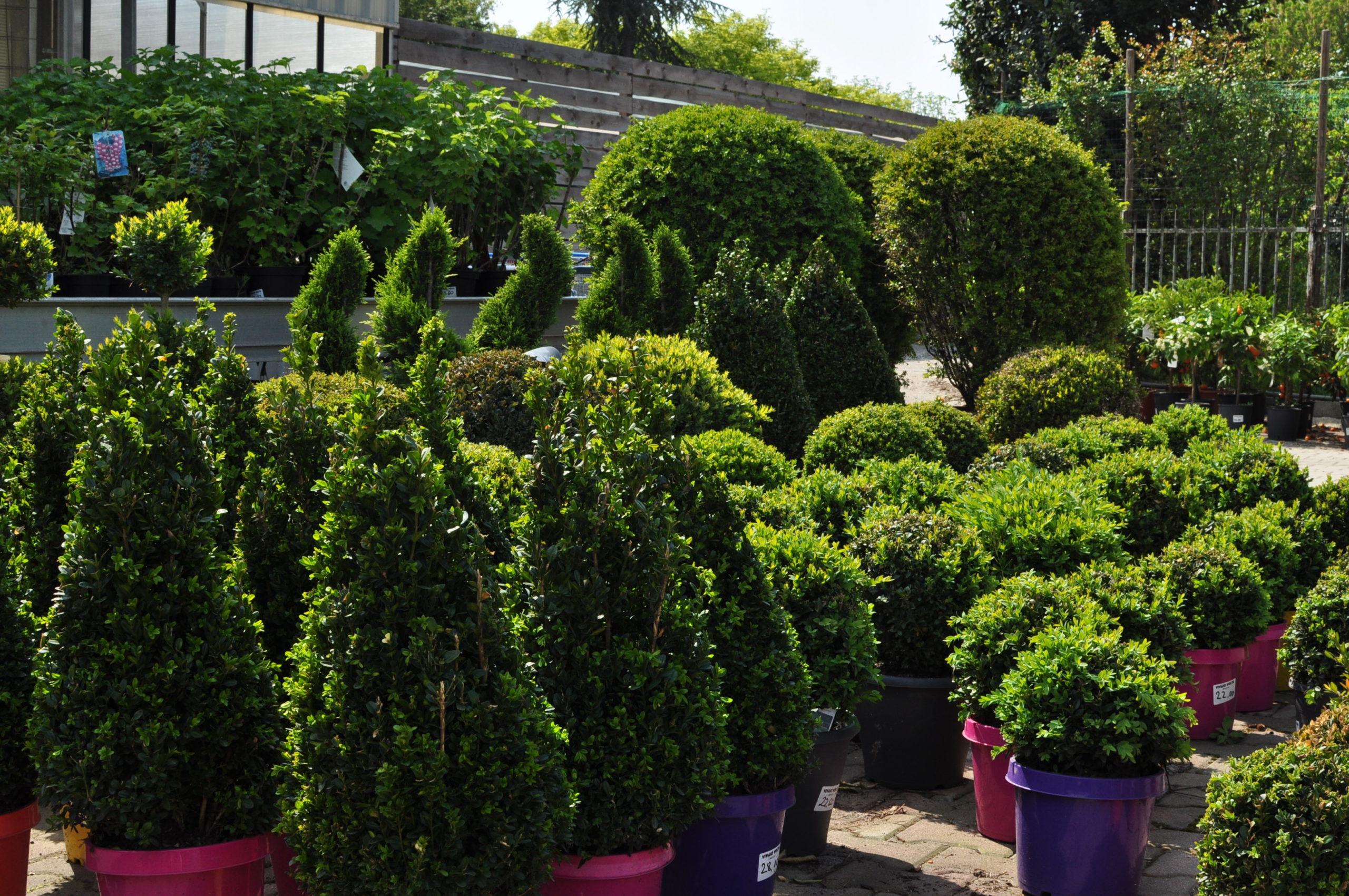 cespugli e siepi piante da esterno