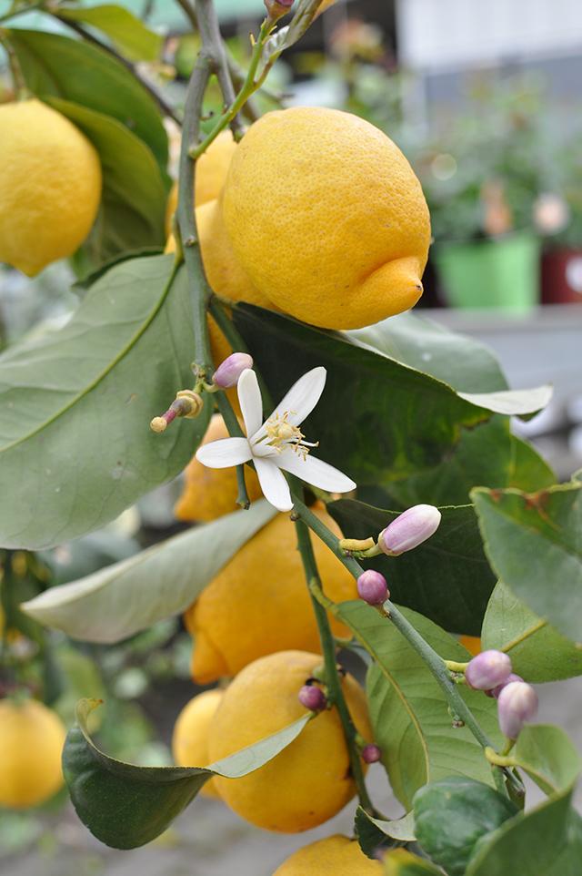 agrumi e piante da frutto vivaio volta
