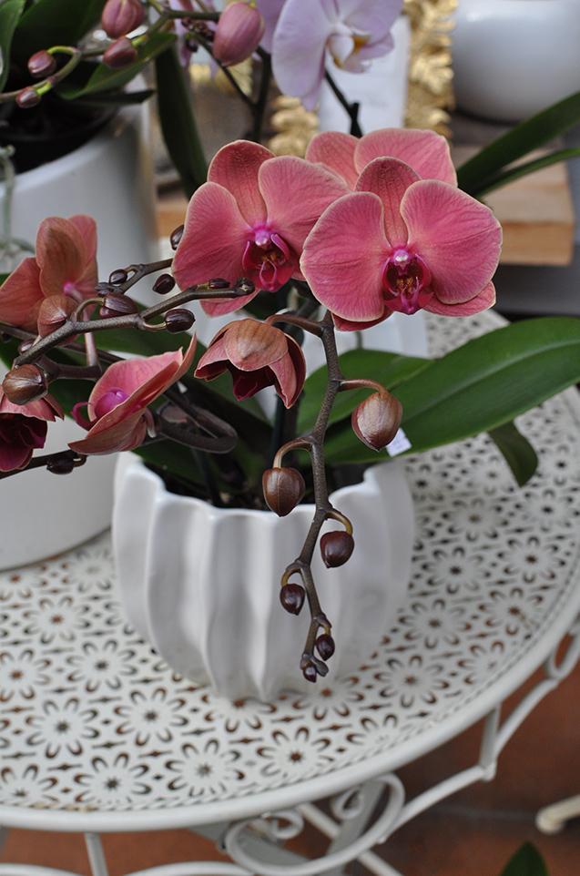 orchidee vivaio volta