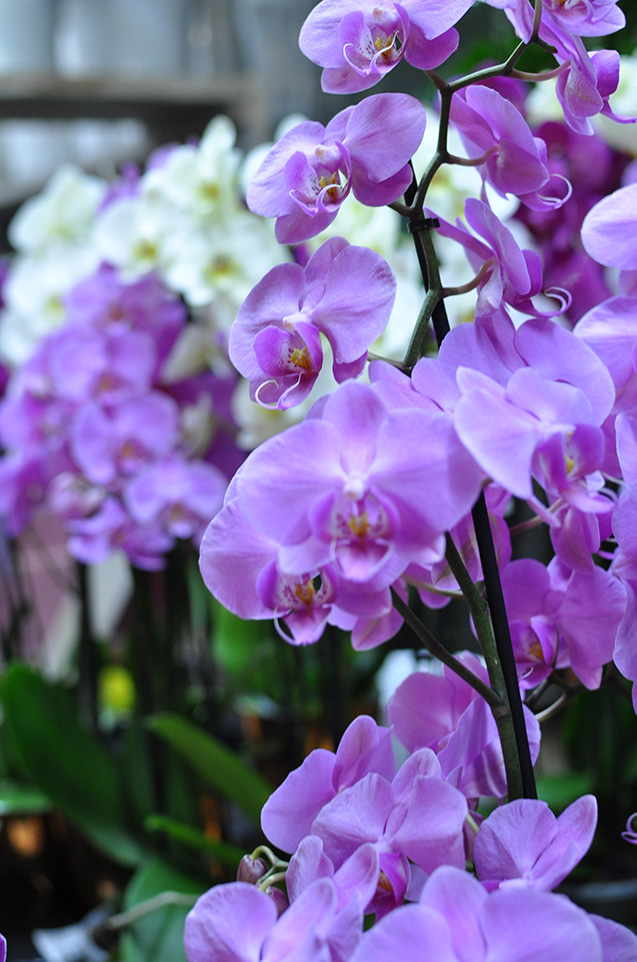 orchidee epifite