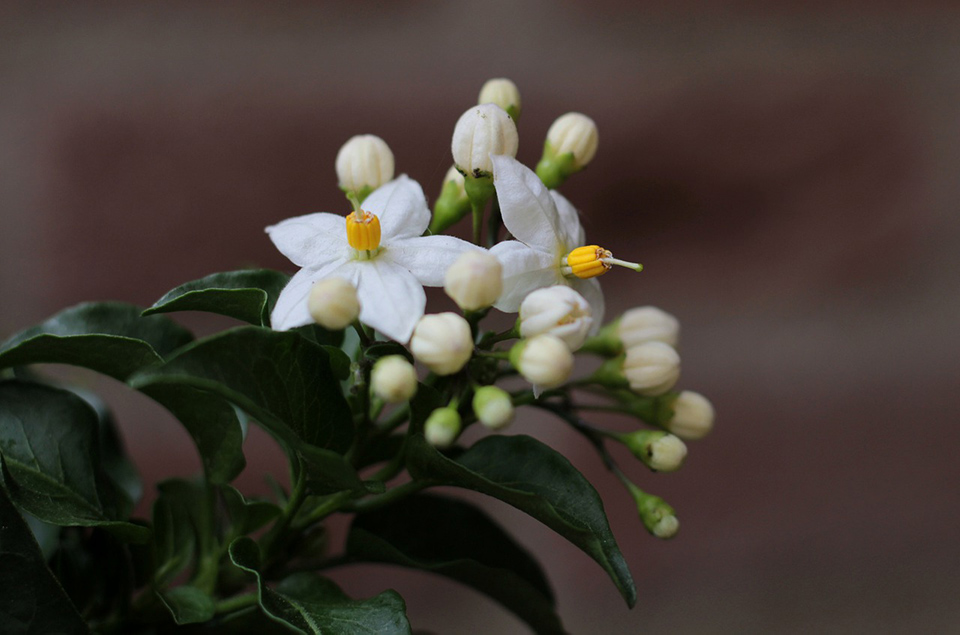 solanum piante stagionali primavera